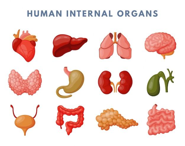 Innere organe eingestellt