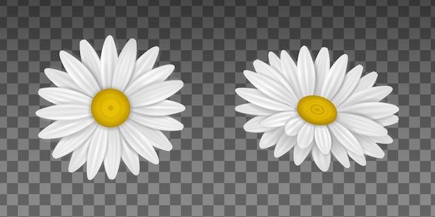Isolierte gänseblümchenblume