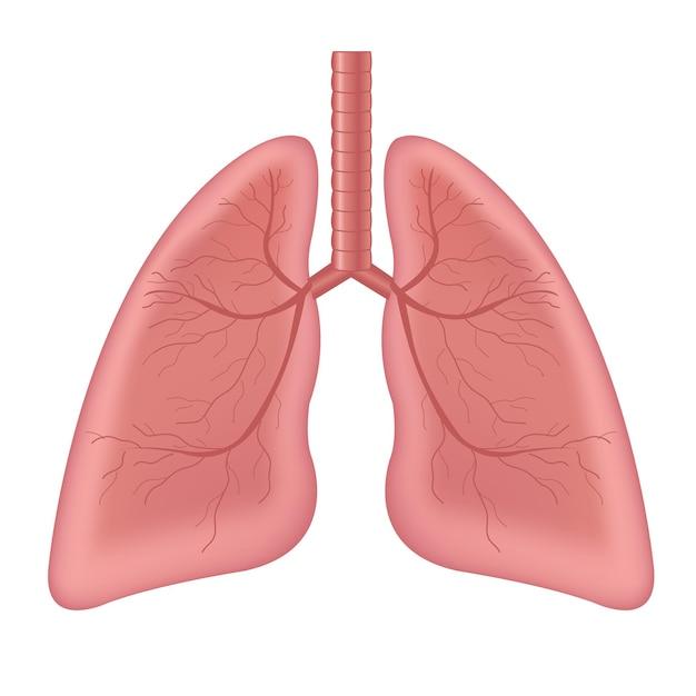 Isolierter weißer hintergrund des menschlichen inneren organs der lunge