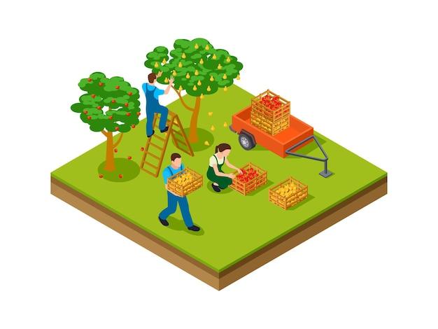 Isometrische gartenarbeit. landwirte, plantagenarbeiter, die für den saisonmarkt ernten. isometrische apfelbirnenbäume garten-vektor-illustration. farm isometrische landwirtschaft, landwirtschaftliche landwirtschaft