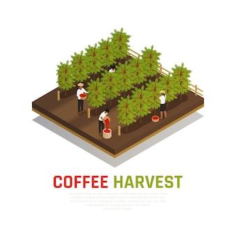 Isometrische kaffeeernte