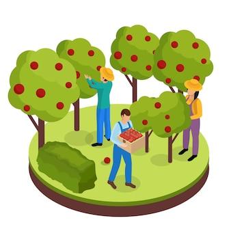 Isometrische zusammensetzung des gewöhnlichen landwirtlebens mit drei grünflächenarbeitern, die früchte von umgebenden bäumen sammeln