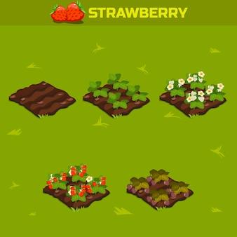 Isometrisches stadium der wachstumsbeeren. rote erdbeere