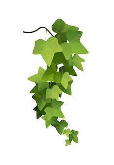 Ivy plant branch cartoon illustration. kletterpflanze