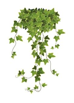 Ivy plant branch cartoon illustration. kletterpflanze.