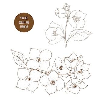 Jasmin. gezeichneter satz des vektors hand kosmetische anlagen lokalisierte bestandteilillustration der ätherischen öle. aromatherapie zutaten. skizzensammlung natürliche florenelemente.