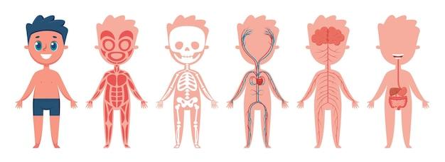 Junge körperanatomie menschliches muskel-skelett-kreislauf-nerven- und verdauungssystem-vektor-set