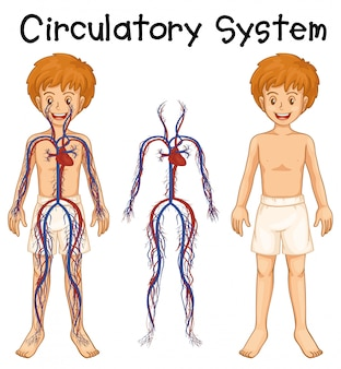 Junge mit kreislaufsystem