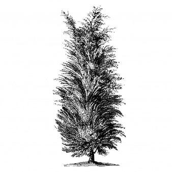 Juniper Tree Vintage Illustrationen