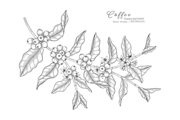 Kaffeeblume und blatt handgezeichnete botanische illustration mit strichzeichnungen.