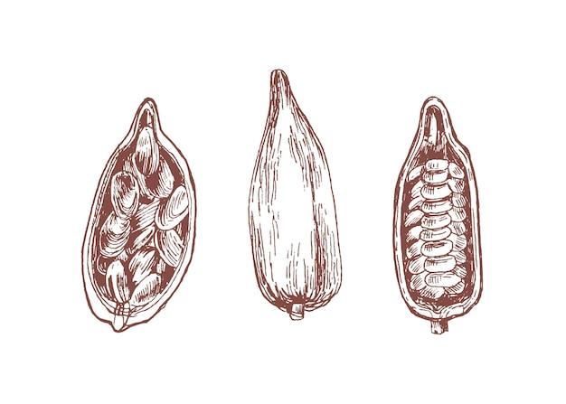 Kakaofrucht mit handgezeichneten illustrationen der bohnen gesetzt.