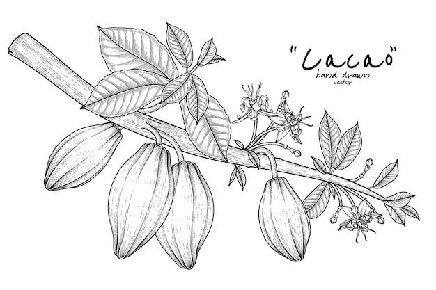 Kakaoniederlassung mit gezeichneter illustration der fruchtblätter und der blumen hand