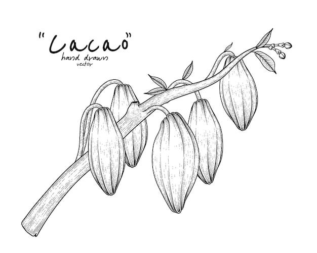Kakaozweig mit gezeichneter illustration der früchte hand