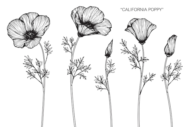Kalifornische mohnblumeblumenzeichnungsillustration