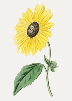 Kalifornische sonnenblume