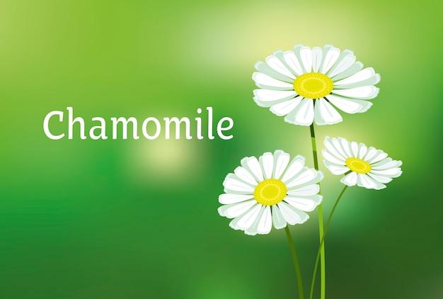 Kamille illustration. weiße gänseblümchenblume.