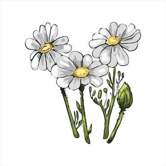 Kamille oder kamille gänseblümchenartige pflanze der familie asteraceae