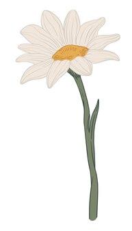 Kamille-pflanze mit blühendem blüten-grünem stiel