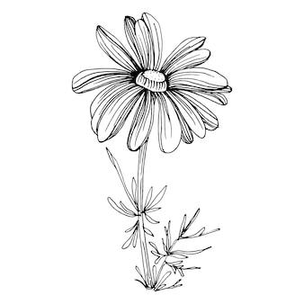 Kamille von hand zeichnen. gänseblümchenrad floral in linie kunststilkonzept antike vintage gravur illustration.