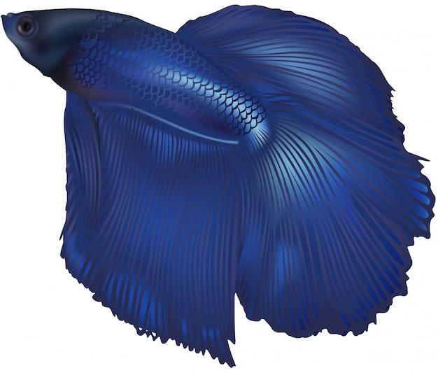 Kampffisch (betta splenedens)