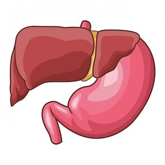Karikatur des menschlichen organs der anatomie