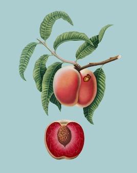 Karotten-pfirsich von pomona italiana-illustration