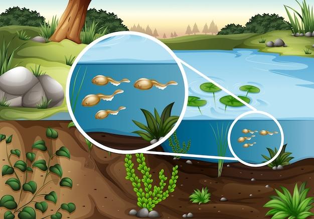 Kaulquappen, die im teich schwimmen
