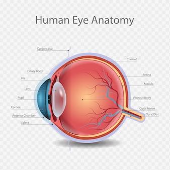 Kenntnis der anatomieillustration des menschlichen auges