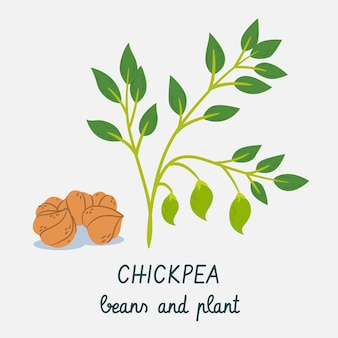 Kichererbsenbohnen und pflanzenhand gezeichnet