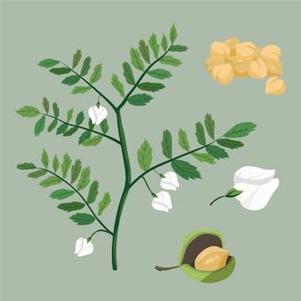 Kichererbsenbohnen und pflanzenillustration