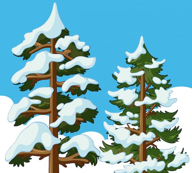 Kiefern mit schnee bedeckt