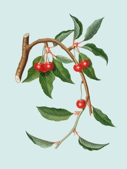 Kirsche von pomona italiana abbildung