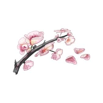 Kirschzweig sakura mit blumen und knospe. vektor-vintage-schraffurfarbe
