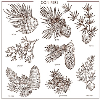 Kleine niederlassungen der natürlichen nadelbäume lokalisierten die einfarbigen eingestellten illustrationen