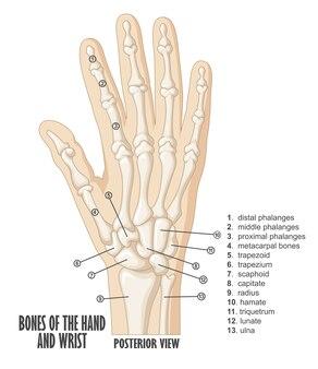Knochen der hand- und handgelenkanatomie