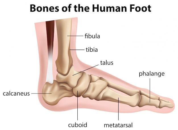 Knochen des menschlichen fußes