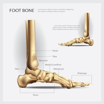 Knochen-vektor-illustration des menschlichen fußes
