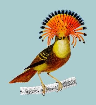 Königlicher fliegenschnäpper (onychorhynchus)