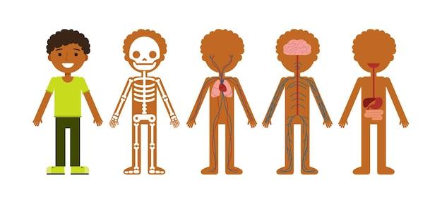 Körperanatomie menschliches skelett kreislaufsystem nervensystem und verdauungssystem
