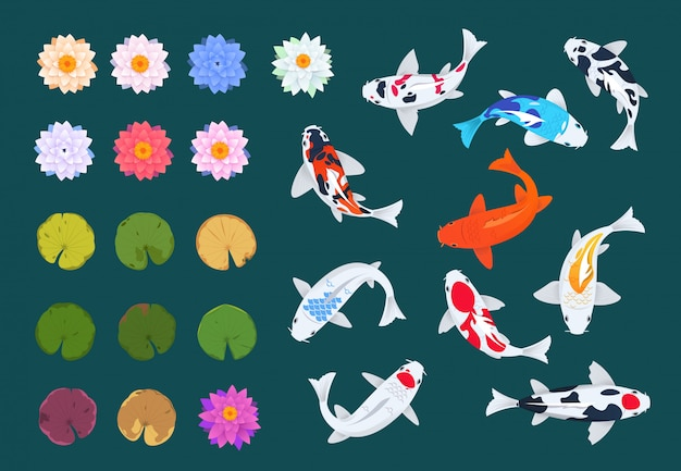 Koi fisch und lotus. japanische karpfen, blüten und blätter von seerosen.