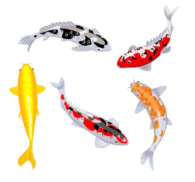 Koi karpfenfische illustration. koifisch. japanischer koi-fisch auf weißem hintergrund, chinesisches goldfischbild. schwimmender orientalischer goldfisch auf blauem hintergrund.