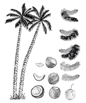 Kokospalmen, deren früchte und blätter gesetzt sind. kokospalmen-skizzensatz.