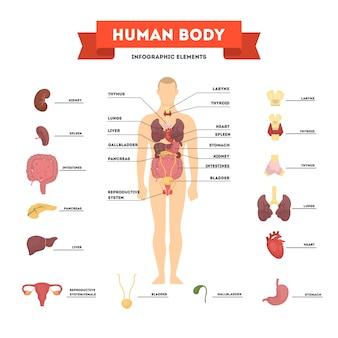 Konzept der menschlichen anatomie. männlicher körper mit satz von inneren organen