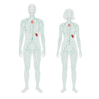 Konzept des lymphsystems. lymphknoten. kanäle in der menschlichen silhouette.