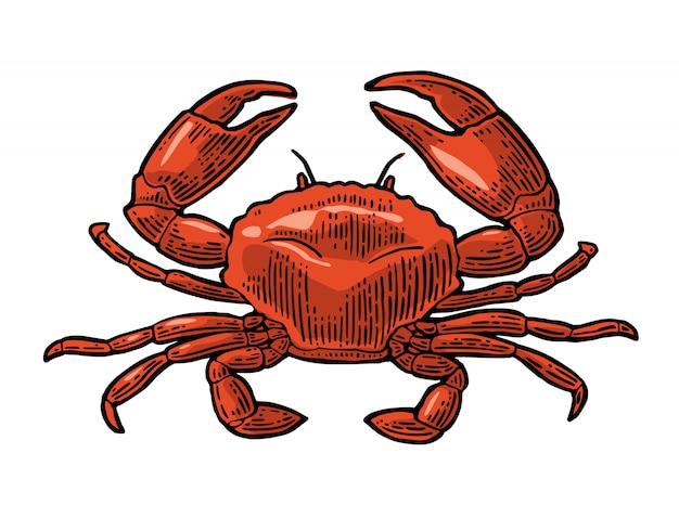 Krabbe lokalisiert auf weißem hintergrund.