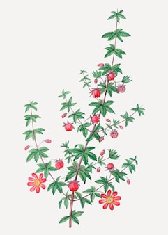 Krappblättrige pflanze