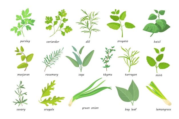 Kreative grüne beliebte küchenkräuter flache bilder eingestellt. cartoon thymian, petersilie, rosmarin, salbei, koriander, oregano usw.