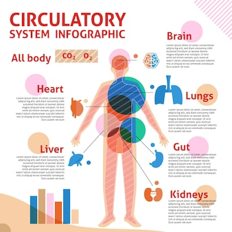 Kreislaufsystem lineare infografik
