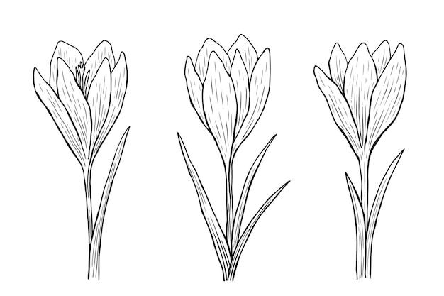 Krokus-umriss-set isoliert auf weiß handgezeichnete illustration