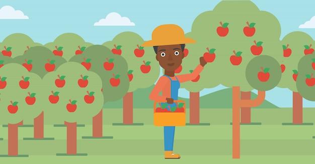 Landwirt, der äpfel sammelt